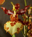 Read more: Oncidium Canaima